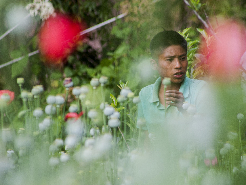 Cosecha De Amapola: Las Flores Del Diablo