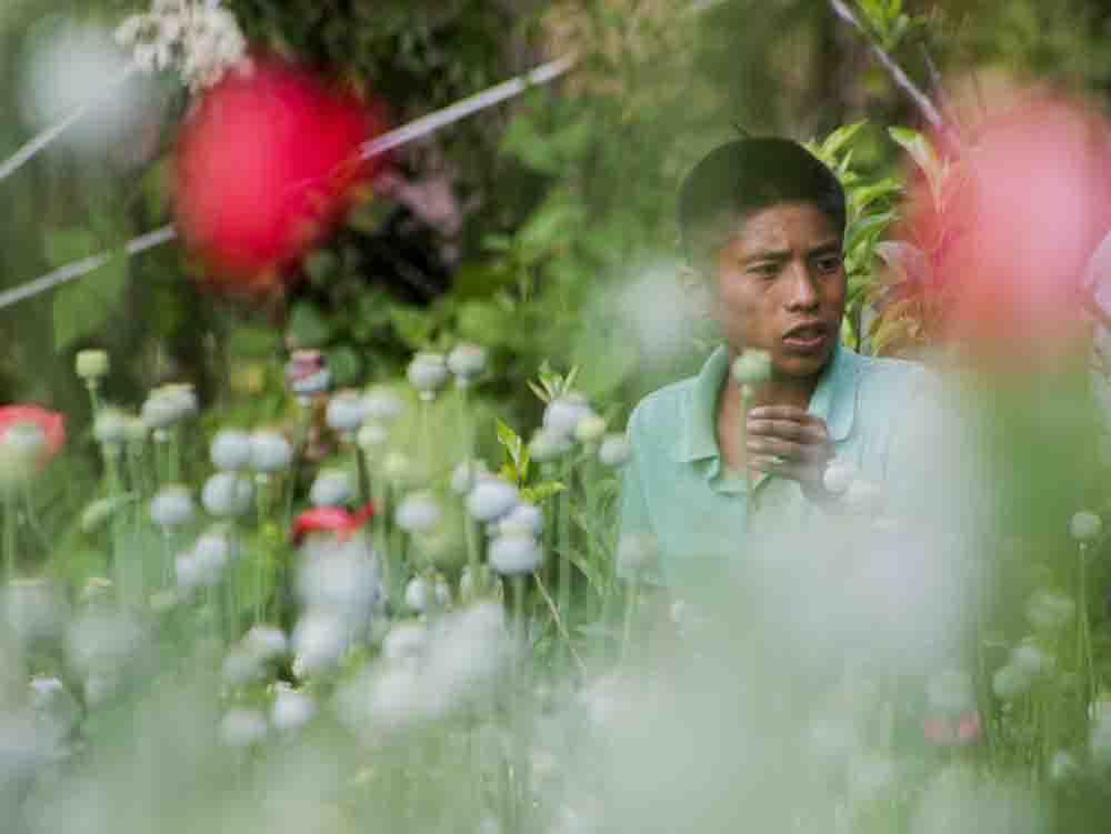 foto:50Cristopher Rogel Blanquet Seccion, informa........23 de abril de 2015 Niños en situación de extrema pobreza en la region de la montaña de Guerrero trabajan en el cultivo y raya de Amapola para extraer la goma de opio.