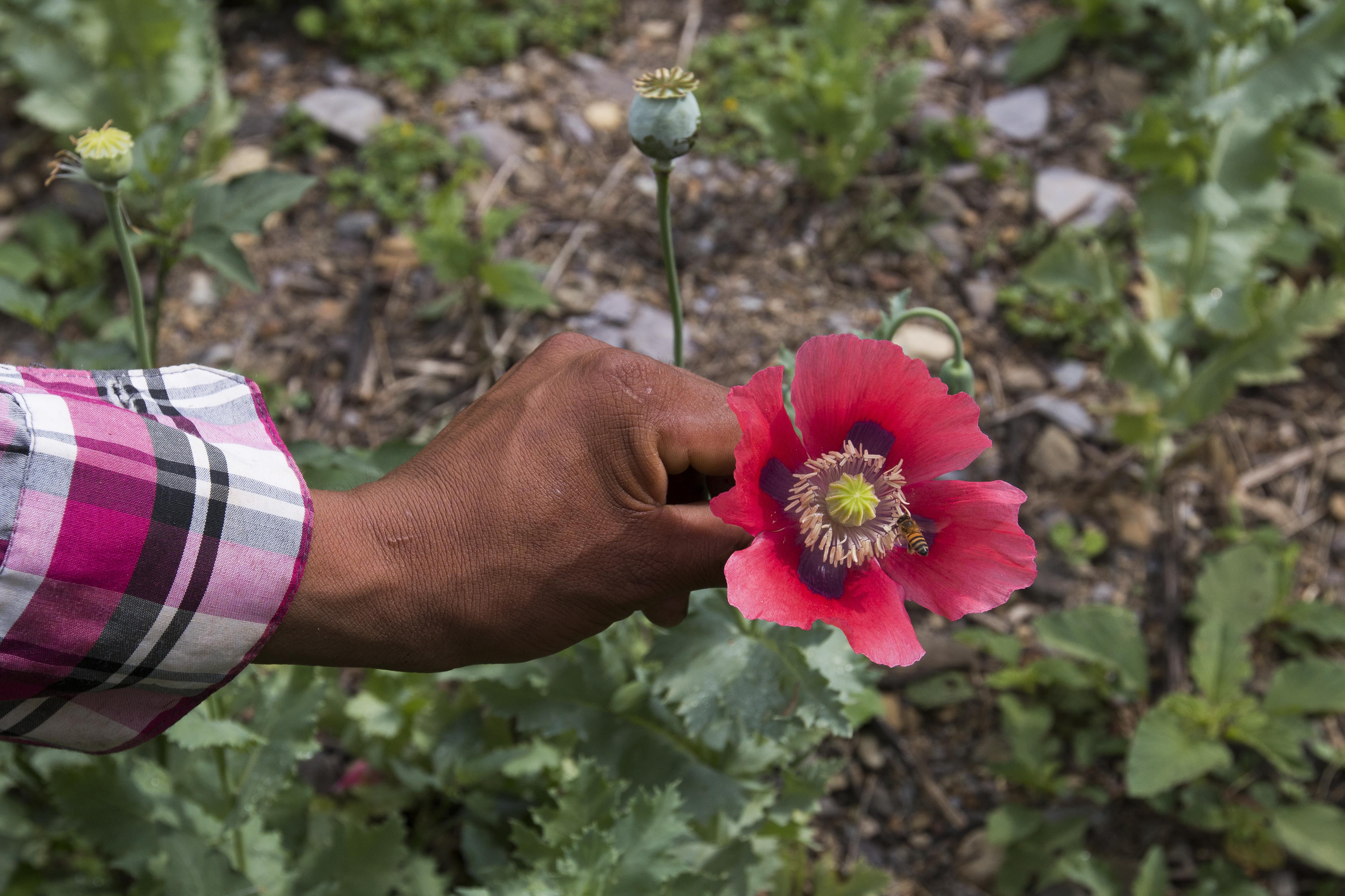 Un cultivador muestra su flor de amapola en Guerrero. Foto: Nadia del Pozo.