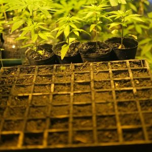 Almácigos De Cannabis. Foto: Pablo Vignali